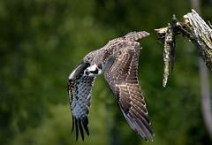 Osprey by paulh192