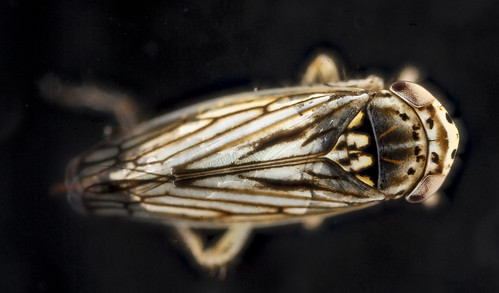 Leafhopper, U, top, Patuxant, MD_2012-10-09-11.40.20 ZS PMax