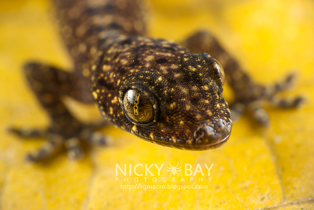 Gecko (Gekkota) - DSC_1612