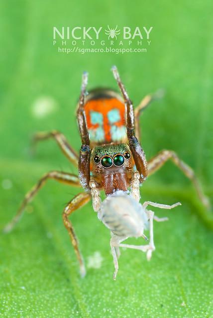 Jumping Spider (Siler sp.) - DSC_9278