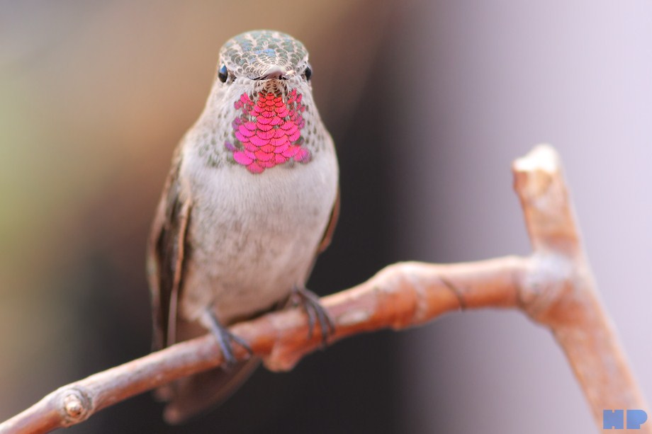 Anna's Hummingbird 101112-2