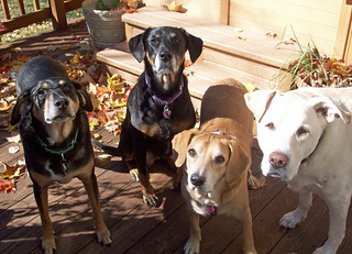 4dogs_101312