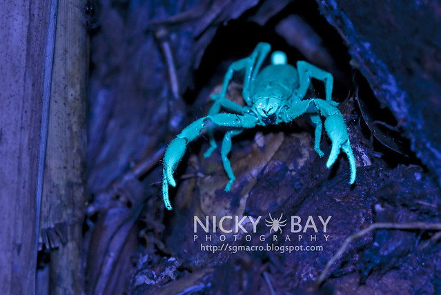 Black Forest Scorpion (Heterometrus sp.?) - DSC_6324