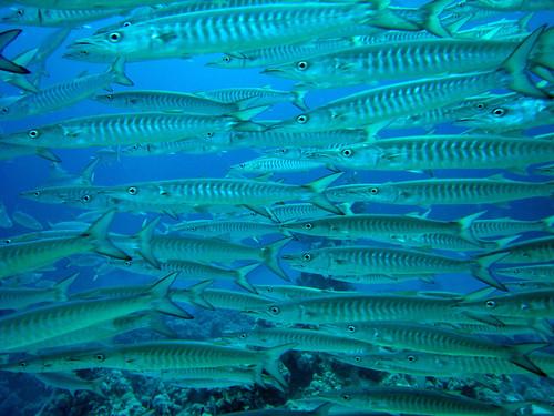 Barracuda à nageoires noires de Plongez-Pépère, sur Flickr