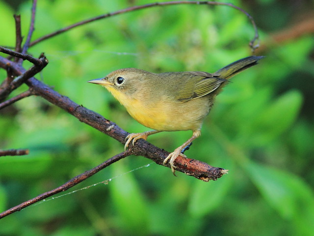 Common Yellowthroat 20121020