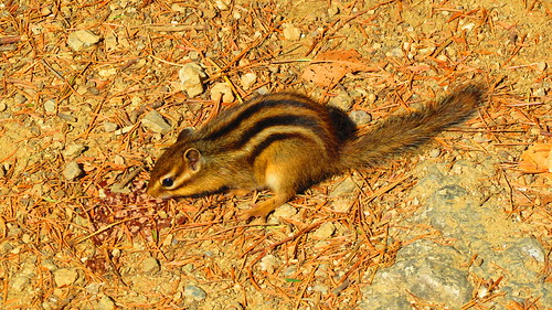 Mountain chipmunks