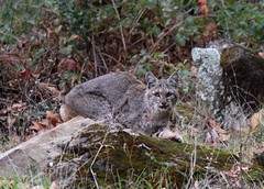 Bobcat, Los Padres National Forest, Santa Barbara County, California