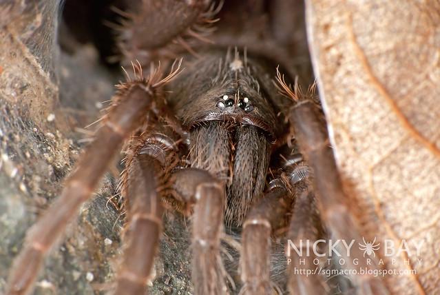 Tarantula (Phlogiellus inermis) - DSC_0659