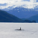 Small photo of Male Orka Whale, Prince William Sound