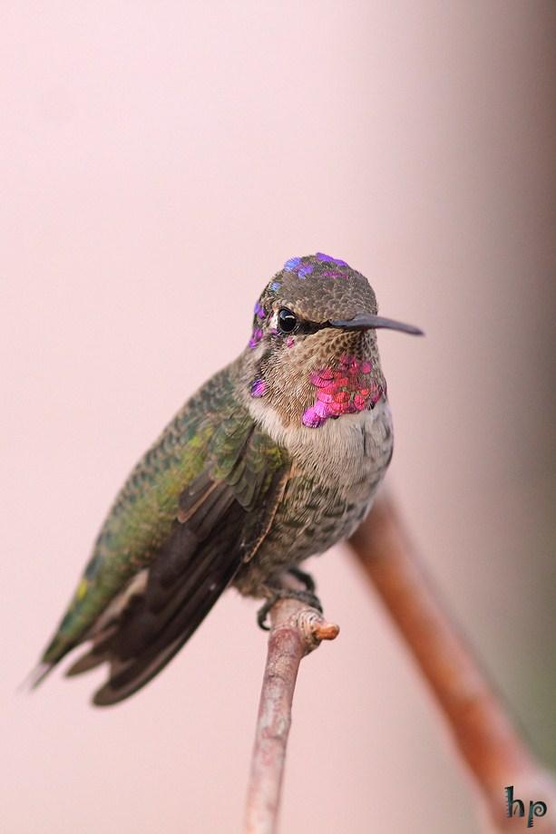 Costa's Anna's Hybrid Hummingbird 102512-2