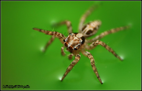 brown white male green home water canon four spider jumping eyes legs flash 4 popup reverse 1855 maldives spikes diffuser reverselens 500d