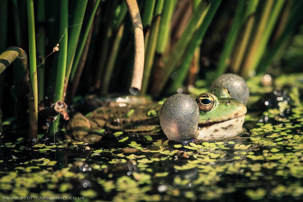 Marsh Frog Croaking
