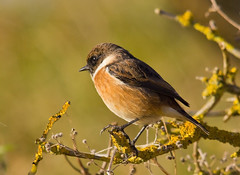 Stonechat & Whinchat