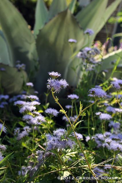 Gregg's mistflower, Conoclinium greggii