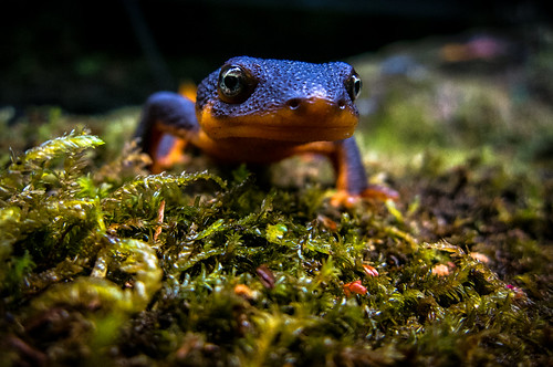 autumn orange macro green fall wet animal canon photography washington moss fallcolor purple wildlife amphibian salamander fallfoliage pacificnorthwest washingtonstate newt damp 2012 s100 cedarcreekgristmill