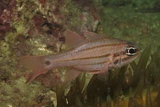 Doederlein's cardinalfish