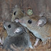 Deer Mice - Photo (c) Erpeton, some rights reserved (CC BY-NC-SA)
