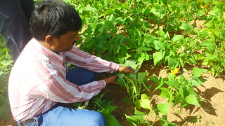 Mr.Giridhara, a Myrada official, taking a look at the beans crop