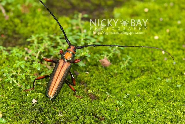 Longhorn Beetle (Xystrocera festiva) - DSC_8263