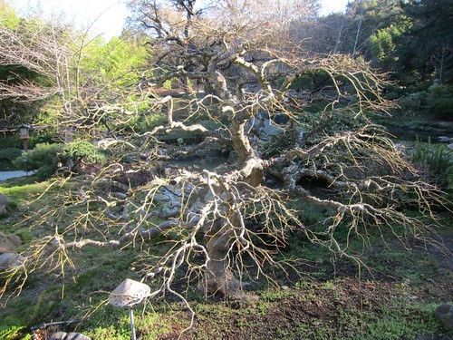 Hakone Japanese Gardens, Saratoga, CA, tree IMG_2413