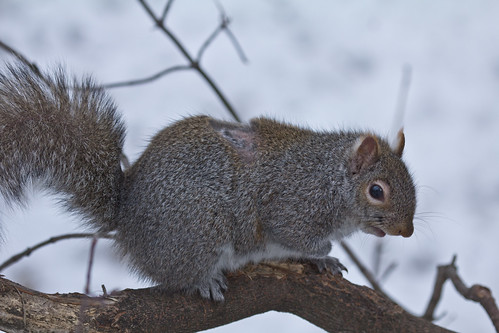 Boo Boo the Gray Squirrel