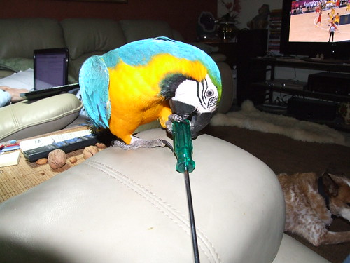 Blue and Gold Macaw Playing with a Screwdriver.