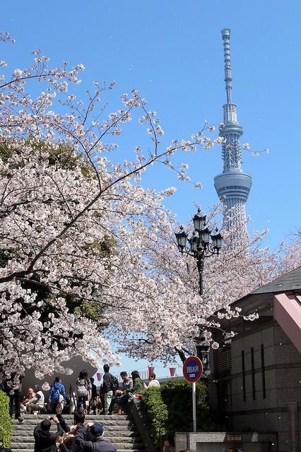 桜とスカイツリー 隅田公園