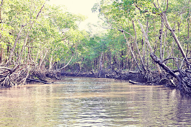 mangrove wide