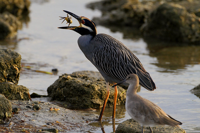 Yellow-crowned Night Heron With a Snack