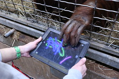 Smithsonian's National Zoo Orangutans Turn High-Tech with Apps for Apes