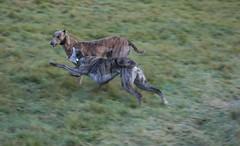 animal sports(0.0), hound(0.0), greyhound racing(0.0), saluki(0.0), sports(0.0), dog sports(1.0), animal(1.0), dog(1.0), whippet(1.0), galgo espaã±ol(1.0), sloughi(1.0), pet(1.0), mammal(1.0), lurcher(1.0), greyhound(1.0), fauna(1.0), hunting dog(1.0), wildlife(1.0),
