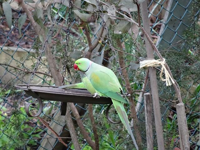 Rose- ringed Parakeets