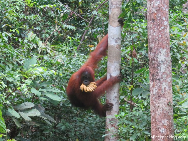 An orangutan takes his bananas up the tree
