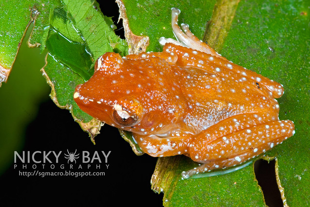 Spotted Tree Frog (Nyctixalus pictus) - DSC_0556