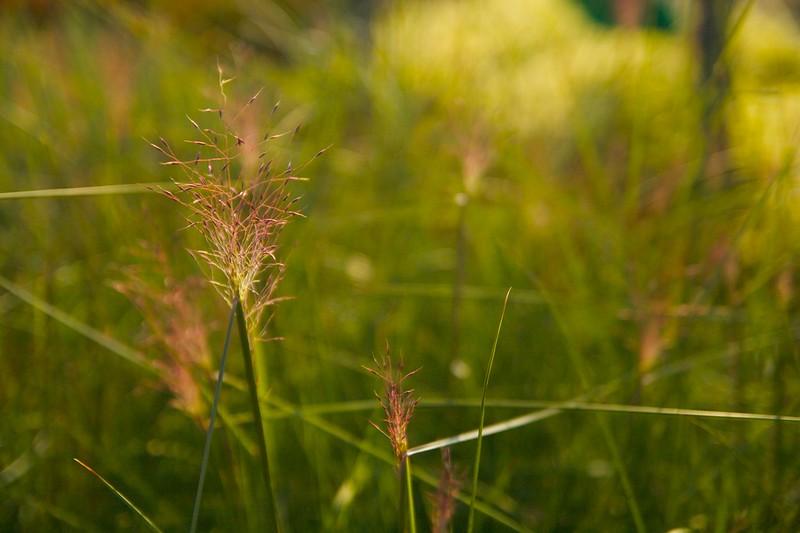 muhlenbergia capillaris  2232