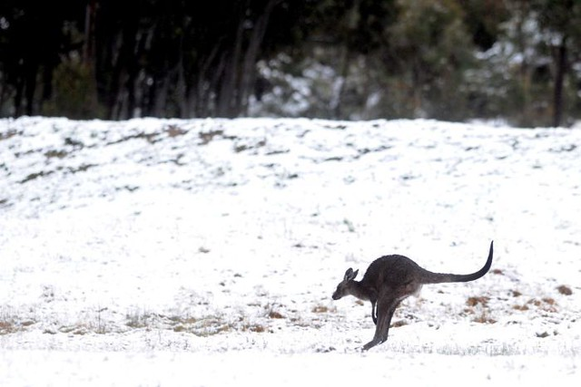 Snowy Kangaroo