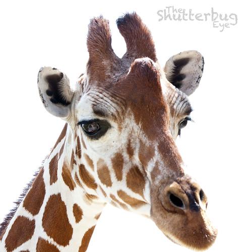 Giraffe Portrait 1 by The Shutterbug Eye™