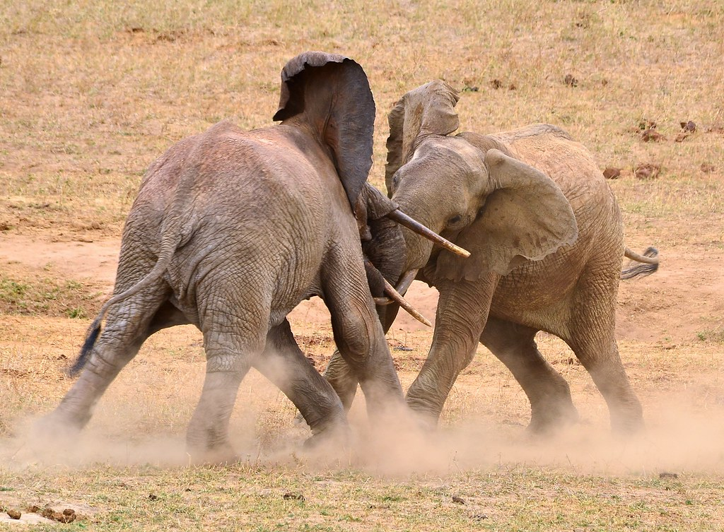 african bull elephant tuskers dusty fight for supremacy of