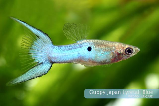 Guppy Japan Blue Lyretail Flickr - Photo Sharing!