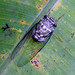 Small photo of Cicada. Cicadidae. Homoptera.