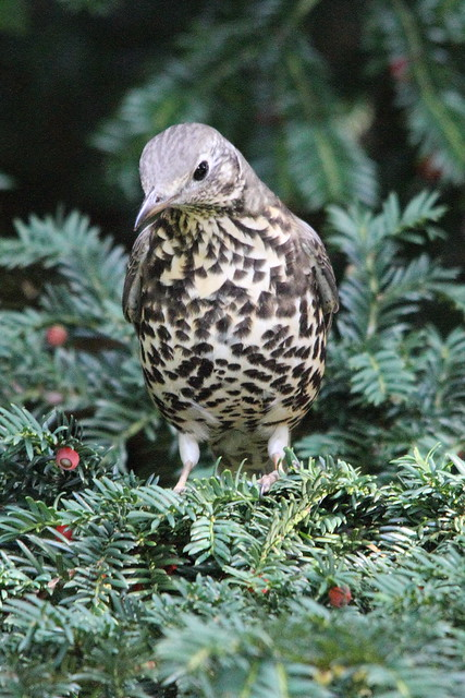Mistle Thrush, Robert's Park