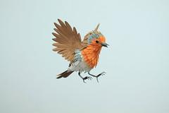 Robin bird.