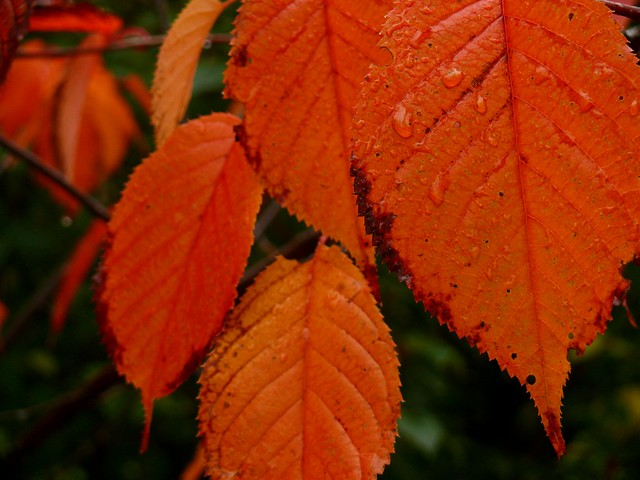 Red leaves - Wallpaper format