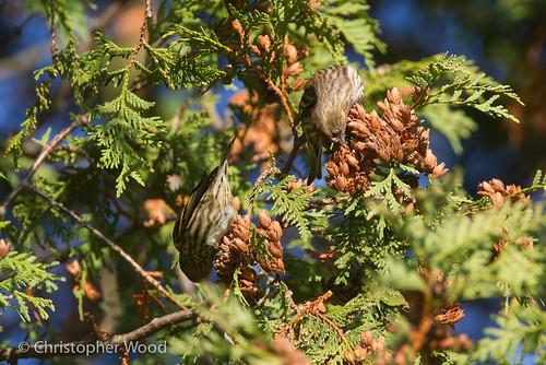 usa newyork bird animal us pinesiskin monroecounty passeriformes spinus fringillinae spinuspinus