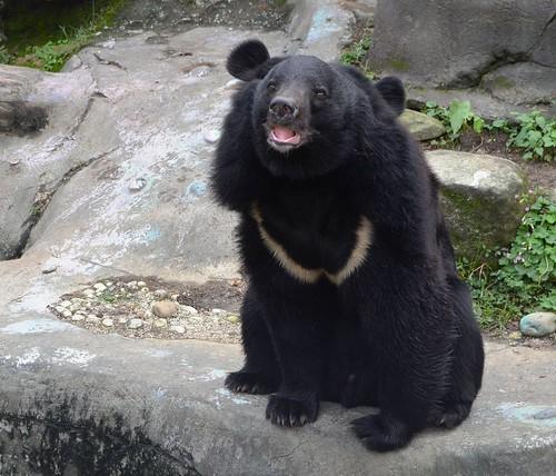 臺灣黑熊胸前的V型花紋,也有許多有趣傳說故事,而V型也像新月,因此黑熊又有「月熊」之稱。攝影:呂軍逸。