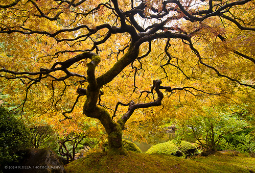 oregon garden portland photography japanesegarden maple nikon fallcolor landscaping japanesemaple washingtonpark nikond300s joshkullaphotography portlandmaple