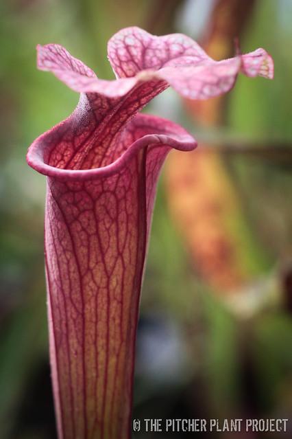 Sarracenia 'Reptililan Rose' x (flava v. rubricorpora x leucophylla)
