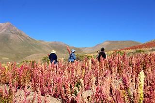 Plantación Quínoa