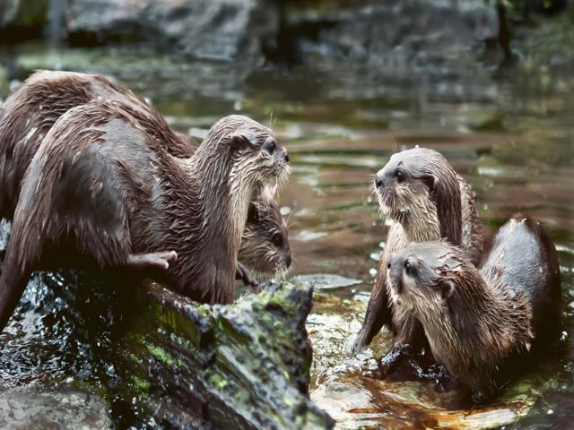 Playtime - Young Asian otters By Keith Page, Merseyside, UK