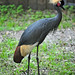 Black Crowned-Crane - Photo (c) Heather Paul, some rights reserved (CC BY-ND)